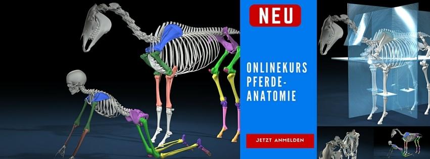Der Onlinekurs Pferdeanatomie - Lerne mehr über die Anatomie und Biomechanik des Pferdes. Warum Leichttraben nicht leicht ist und wie das Pferd von seinem Körperbau her geritten werden sollte.