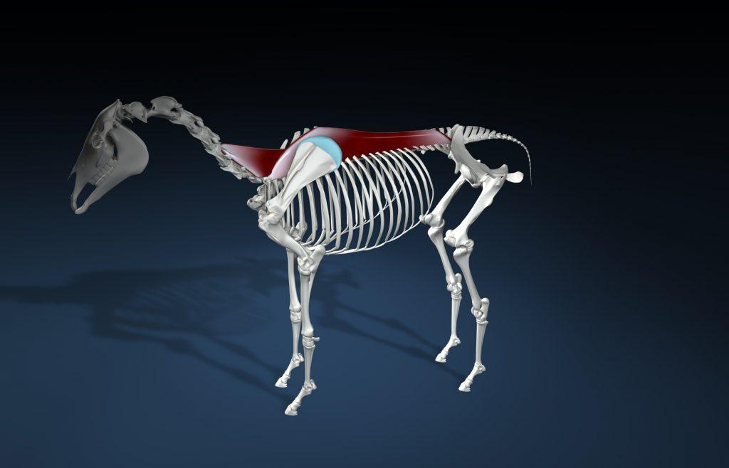Pferde gesund bewegen - Onlinekurs Pferde Anatomie & Biomechanik