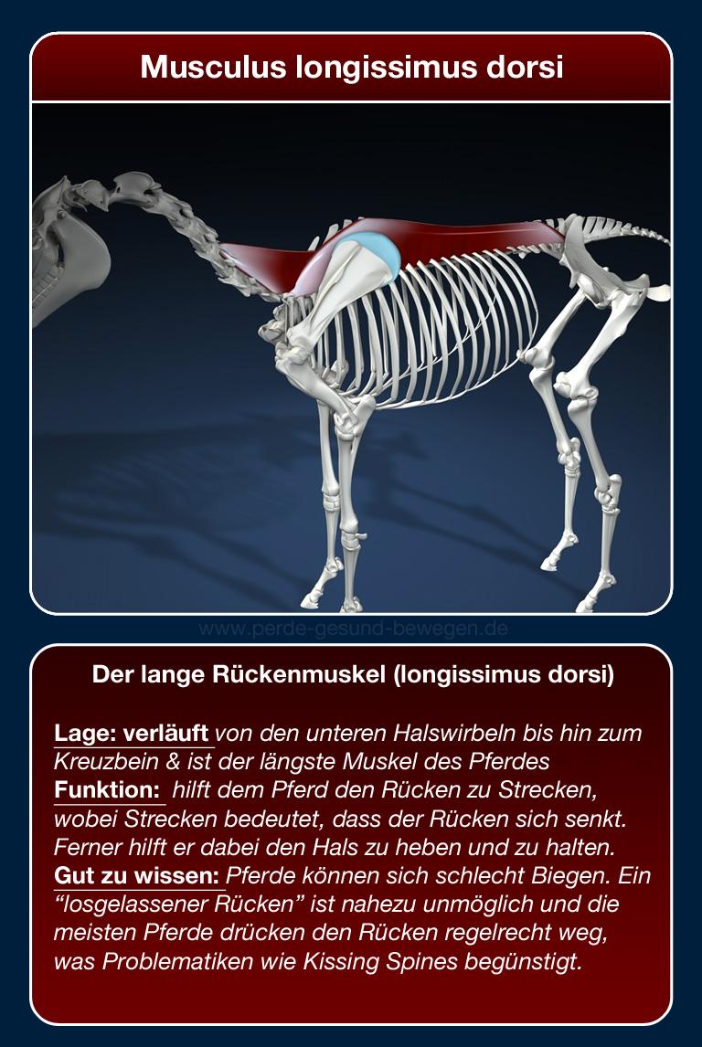 Der lange Rückenmuskel (longissimus dorsi) - Pferde gesund bewegen