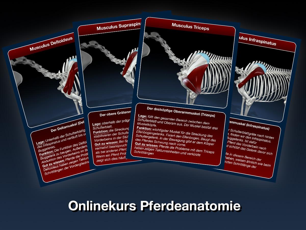 Online Kurs Pferde Anatomie - Das Skelett & Muskeln des Pferdes